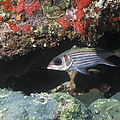Blackfin Squirrelfish Swimming Print by Michael Wood