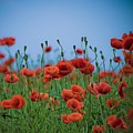 Blood Red Poppies On Vibrant Green And Blue Sky Print by Edward Carlile Portraits