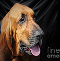 Bloodhound - Governed by a world of scents Print by Christine Till
