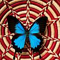 Blue black butterfly in basket Poster by Garry Gay
