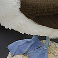 Blue-footed Booby Sula Nebouxii Poster by Pete Oxford