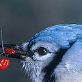 Blue Jay Poster by Photo Researchers, Inc.