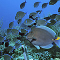 Blue Tang Surgeonfish Poster by Georgette Douwma