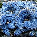 Blue Turkeytail  by Joshua Bales