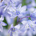 Bluebells Print by Nick Dolding