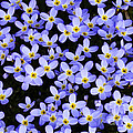 Bluets in Shade Poster by Thomas R Fletcher