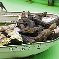 Boat full of alligators  Poster by Garry Gay