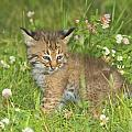 Bobcat Kitten Print by John Pitcher