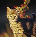 Bobcat Kitten Standing On Log North Poster by Tim Fitzharris