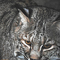 Bobcat Love Print by DiDi Higginbotham