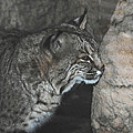 Bobcat Love II Poster by DiDi Higginbotham