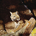 Bobcat Lynx Rufus Portrait On Rock Print by Gerry Ellis