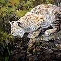 Bobcat Poster by Mary Ann Cherry