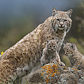 Bobcat Mother And Kittens North America Print by Tim Fitzharris