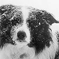 Border Collie Poster by Carole  Martinez