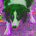 Border Collie Stare In Colors Poster by Smilin Eyes  Treasures