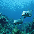 Bottlenose Dolphins and Coral Reef Print by Konrad Wothe