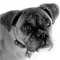 Boxer Dog Print by Marilyn Hunt