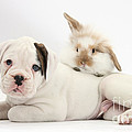Boxer Puppy And Young Fluffy Rabbit Print by Mark Taylor