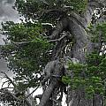 Bristlecone Pine tree on the rim of Crater Lake - Oregon Print by Christine Till