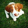 Brittany Spaniel Puppy Poster by Meredith Winn Photography