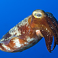 Broadclub Cuttlefish, Papua New Guinea Print by Steve Jones