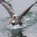 Brown Pelican Landing On Water . 7D8372 Print by Wingsdomain Art and Photography