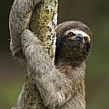 Brown-throated Three-toed Sloth Poster by Ingo Arndt