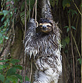 Brown Throated Three Toed Sloth Mother Print by Suzi Eszterhas