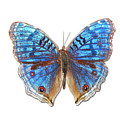 Brush-footed Butterfly Of Madagascar Print by MajchrzakMorel