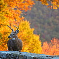 Buck in the Fall 04 Print by Metro DC Photography