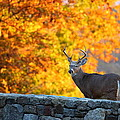 Buck in the Fall 07 Print by Metro DC Photography