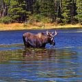 Bull Moose In The Mountains Poster by Terril Heilman