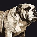 Bulldog Spirit Print by Michael Tompsett