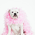 Bulldog Wearing Feather Boa Print by Max Oppenheim