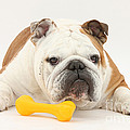 Bulldog With Plastic Chew Toy Print by Mark Taylor