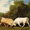 Bulls Fighting Poster by George Stubbs