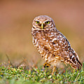 Burrowing Owl Print by TNWA Photography