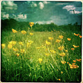 Buttercups Print by Neil Carey Photography