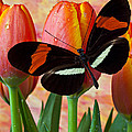 Butterfly On Orange Tulip Print by Garry Gay