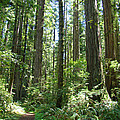 California Redwood Trees Forest art prints Poster by Baslee Troutman Photography Prints