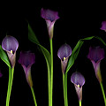 Calla Lilies Print by Marlene Ford