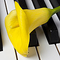 Calla lily on keyboard Poster by Garry Gay