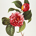 CAMELLIA, 1833 Poster by Granger