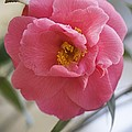 Camellia Japonica Poster by Maria Mosolova