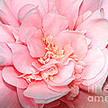 Camellia Print by Louise Heusinkveld