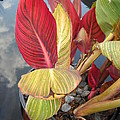Canna Lily Fall Colors Poster by Clifton Keller