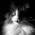 Captivated Cat - A Tribute Poster by Chantal PhotoPix