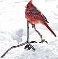 Cardinal in Snow Print by Tamyra Ayles