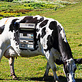 Cash Cow . 7D16140 Print by Wingsdomain Art and Photography
